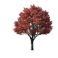 Graphic of mature red maple tree